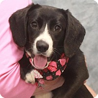 Adopt A Pet :: Halle-PENDING - Garfield Heights, OH