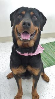 Rottweiler Mix Dog for adoption in Chambersburg, Pennsylvania - Jade
