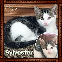 Adopt A Pet :: Sylvester - Jeffersonville, IN