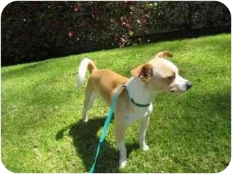 Chihuahua/Terrier (Unknown Type, Small) Mix Dog for adoption in Carpinteria, California - Scout