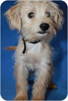 Terrier (Unknown Type, Small) Mix Puppy for adoption in Broomfield, Colorado - Jones