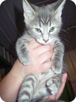 Domestic Shorthair Kitten for adoption in Marseilles, Illinois - Cinderella