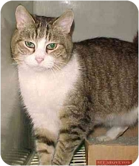 Domestic Shorthair Cat for adoption in North Judson, Indiana - Kiki