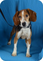Beagle Mix Dog for adoption in Minneapolis, Minnesota - Spice