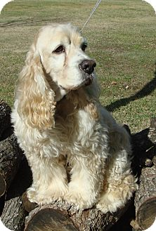 Cocker Spaniel Dog for adoption in Sugarland, Texas - Princeton