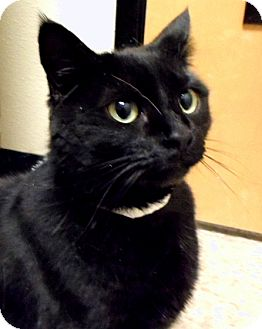 Domestic Shorthair Cat for adoption in Worcester, Massachusetts - Daisy - DECLAWED