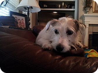 Jack Russell Terrier Dog for adoption in Austin, Texas - Ally in Houston