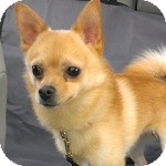 Pomeranian/Chihuahua Mix Dog for adoption in Wheaton, Illinois - Bentley
