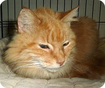 Domestic Longhair Cat for adoption in Carmel, New York - Cody