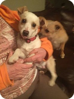 Chihuahua Mix Dog for adoption in Ashville, Ohio - Lucky