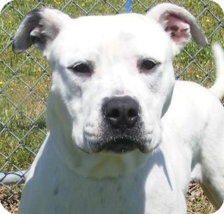 Bull Terrier Mix Dog for adoption in Olive Branch, Mississippi - Dixie