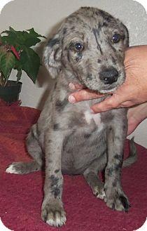 Australian Shepherd Mix Puppy for adoption in Cleveland, Georgia - female aussie