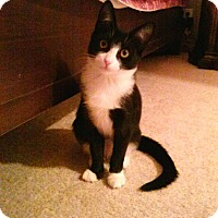 Adopt A Pet :: Black white tuxedo girl - Manasquan, NJ