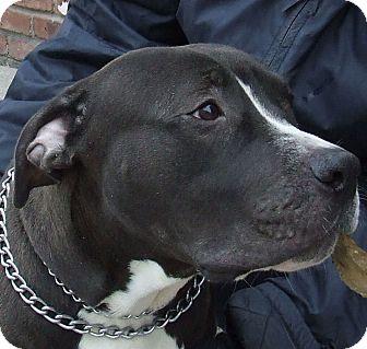 American Bulldog Mix Dog for adoption in Newark, New Jersey - Rowdy