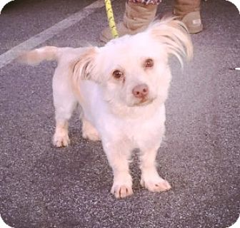 Poodle (Miniature) Mix Dog for adoption in San Francisco, California - Indie