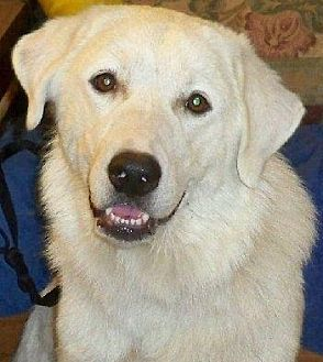 Great Pyrenees Dog for adoption in Beacon, New York - OK Fosters Needed