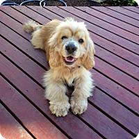 Adopt A Pet :: GIZMO - Tacoma, WA