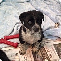 Adopt A Pet :: RAYMOND - Higley, AZ