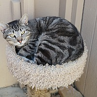 Domestic Shorthair Cat for adoption in San Pablo, California - SONNY