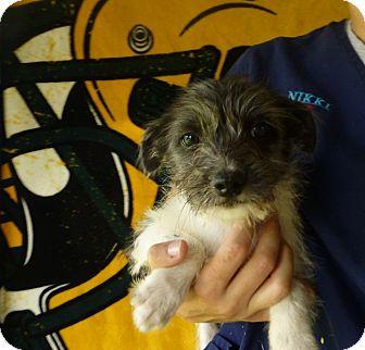 Shih Tzu/Miniature Schnauzer Mix Puppy for adoption in Oviedo, Florida - Cutie