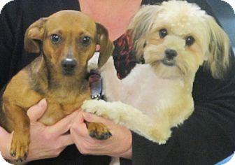 Maltese/Shih Tzu Mix Dog for adoption in Spring Valley, New York - Truffles & Ruffles
