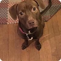 Adopt A Pet :: Clarabelle - richmond, VA