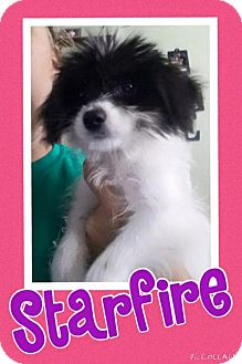 Terrier (Unknown Type, Medium) Mix Dog for adoption in House Springs, Missouri - starfire