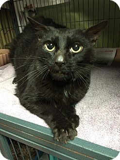Domestic Shorthair Cat for adoption in Brooklyn, New York - Costello