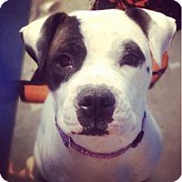 Adopt A Pet :: Chanel - Pompton Lakes, NJ