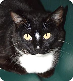 Domestic Shorthair Cat for adoption in Eastsound, Washington - Sassy