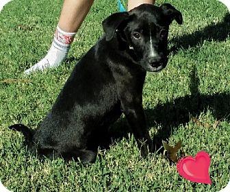 Labrador Retriever Mix Puppy for adoption in Austin, Texas - Puppy Linus