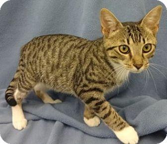 Domestic Shorthair Kitten for adoption in Olive Branch, Mississippi - Samuel