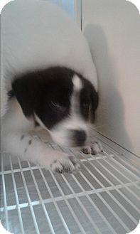 Blue Heeler/Labrador Retriever Mix Puppy for adoption in Mantua, New Jersey - Oreo