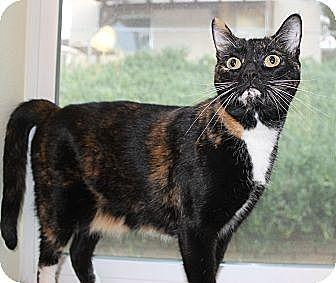 Calico Cat for adoption in Palmdale, California - Paris