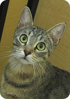 Domestic Shorthair Cat for adoption in Tulsa, Oklahoma - Percilla