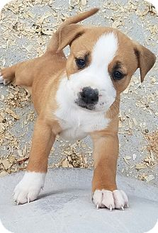 Carolina Dog/Pit Bull Terrier Mix Puppy for adoption in Seneca, South Carolina - Rose $250