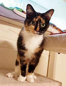 Domestic Shorthair Cat for adoption in Potomac, Maryland - Juniper