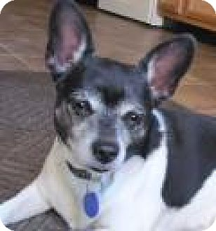 Chihuahua Mix Dog for adoption in House Springs, Missouri - Shadow