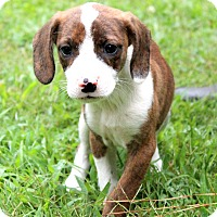 Beagle/Boxer Mix Puppy for adoption in Glastonbury, Connecticut - Mungo~adopted!