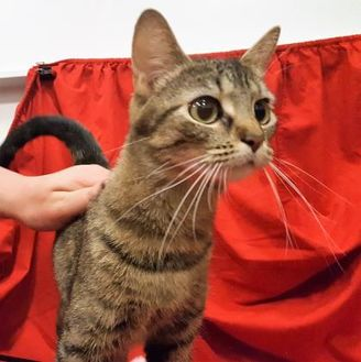 Domestic Shorthair/Domestic Shorthair Mix Cat for adoption in Twinsburg, Ohio - Bianca