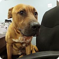 American Pit Bull Terrier Dog for adoption in Las Vegas, Nevada - Boris