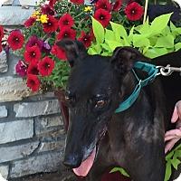 Greyhound Dog for adoption in Coon Rapids, Minnesota - Jan