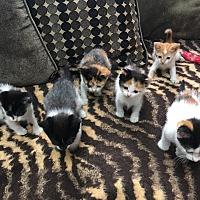 Adopt A Pet :: Solo's kittens URGENT - Piscataway, NJ