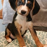 Adopt A Pet :: Nilla - Hagerstown, MD