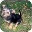 Photo 3 - Chihuahua/Yorkie, Yorkshire Terrier Mix Puppy for adoption in Kokomo, Indiana - Felon a YORKCHI!