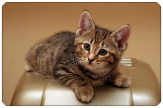 Domestic Shorthair Kitten for adoption in Sterling Heights, Michigan - Matilda - ADOPTED!
