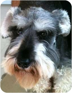 Schnauzer (Miniature) Dog for adoption in Oswego, Illinois - Dr. Pepper