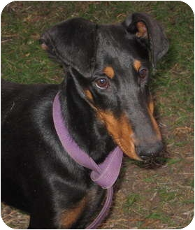 Doberman Pinscher Dog for adoption in Sun Valley, California - Brody
