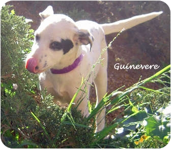 Dalmatian Mix Puppy for adoption in Mandeville Canyon, California - Guinevere