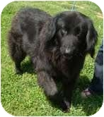 Golden Retriever Mix Dog for adoption in Portland, Maine - Fiona-REDUCED FEE!
